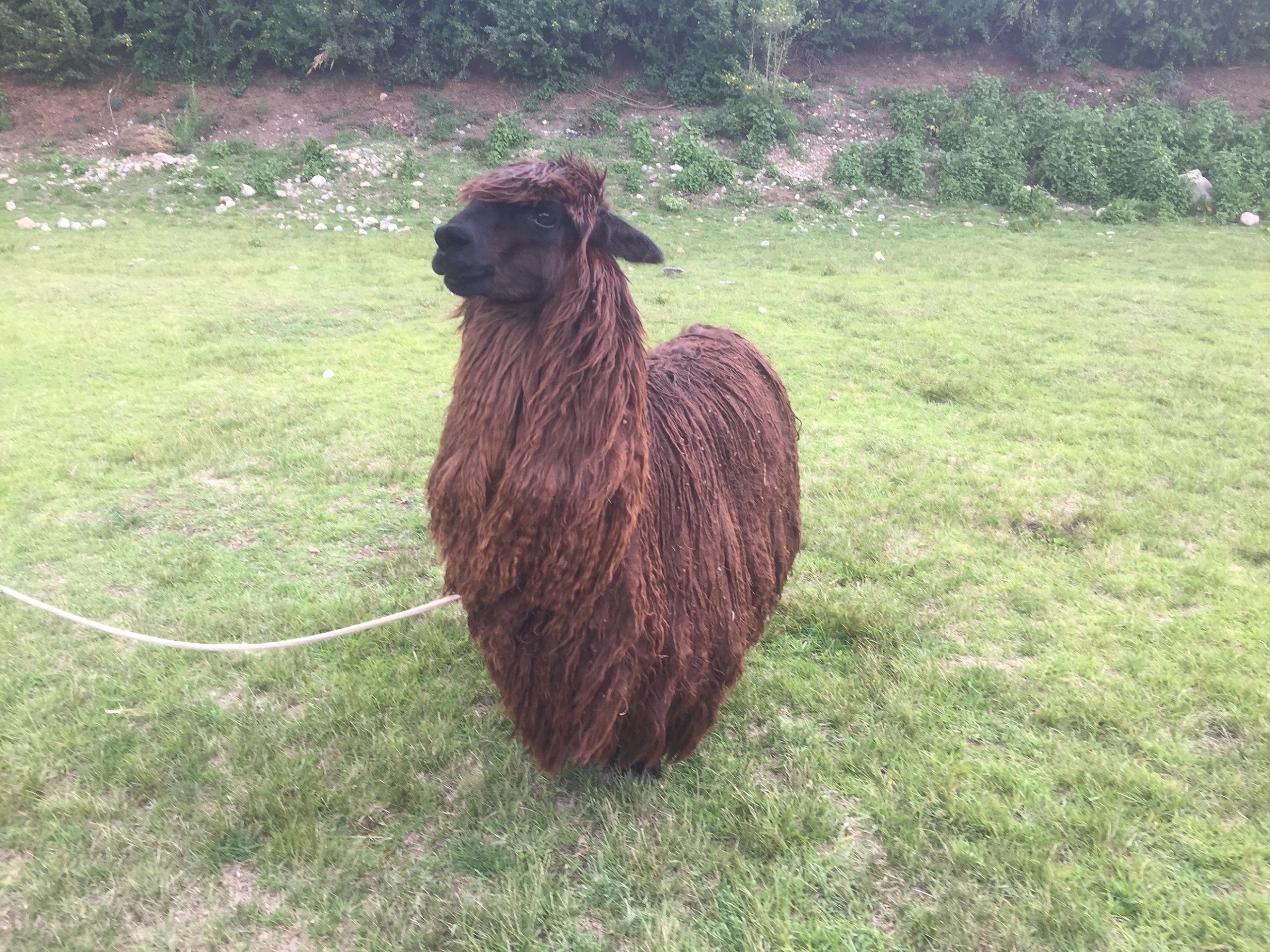 Cusco-city-tourn-an-alpaca